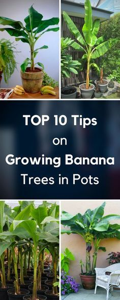 We will help you choose the right variety for you and show you how to easily take care for it so it grows into a healthy and strong plant. All you need to do is carefully read these 10 tips on growing banana trees in pots and you will instantly become an expert!