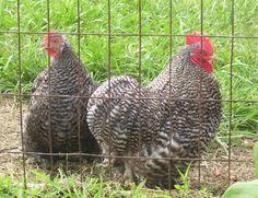 Barred Cochin Bantam Chickens