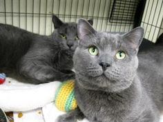 Meet Boomer and Bombay (Rescue), an adopted Russian Blue Mix Cat, from Liberty Humane Society in Jersey City, NJ on Petfinder. Learn more about Boomer and Bombay (Rescue) today. Cairn Terrier, Terrier Dogs, The Blues Brothers, Cat Whisperer, F2 Savannah Cat, Norwegian Forest Cat, Russian Blue, Animal 2, Grey Cats