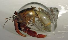 Hand-blown glass shells for hermit crabs.  by designer Robert Dugrenier  Now you get to see what you could not before - intriguing!