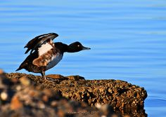 Aythya fuligula (Tepeli patka - Tufted Duck)