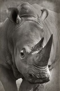 Nick Brandt (Animales) Wildlife Photography, Animal Photography, Beautiful Creatures, Animals Beautiful, Rhino Species, Rhino Tattoo, Animals And Pets, Cute Animals, Rhino Animal
