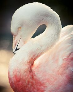 A beautiful photo of a Chilean Flamingo resting in golden hour lighting. Prints come in 7 sizes! #Print #ForSale #Etsy #EtsySeller #EtsyStore #EtsyShop #Photography #Nature #Bird #Pink #Flamingo #GoldenLight