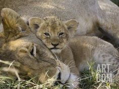 African Lion (Panthera Leo) Mother Resting with Cub, Vulnerable, Masai Mara Nat'l Reserve, Kenya Photographic Print by Suzi Eszterhas/Minden Pictures at Art.com