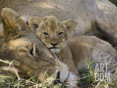African Lion (Panthera Leo) Mother Resting with Cub, Vulnerable, Masai Mara Nat'l Reserve, Kenya Photographic Print by Suzi Eszterhas/Minden Pictures at Art.com