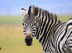 Striped beauty by nobby clarke - animals other mammals ( blue, zebra, smiling ) Picture Of Doctor, Salon Business Cards, Pineapple Images, Circle Of Life, Beauty Art, Clipart Images, Nobby, Image Photography, Mammals