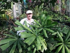 Lanonia dasyantha - Palmpedia - Palm Grower's Guide