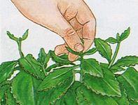 Cuidados y Poda croton. En el croton es oportuno eliminar los retoños jóvenes (al principio de la primavera), en caso de que se desee tener una planta con un porte más compacto, dado que se favorece el desarrollo de ramas laterales. De otra manera la planta de croton crece principalmente en altura.