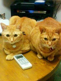 ^.◡ु.^  (≡•·̫•≡)(≡•̀·̫•́≡)  #neko #cat (via keitoyo)