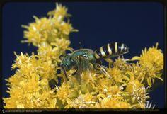 Cuckoo wasp on goldenrod