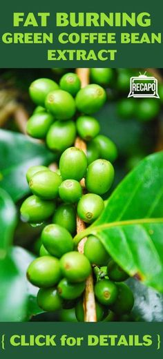 Green Coffee Bean Extract really works, and Dr Oz called it a miracle supplement. Find out why and see the results of his experiment. http://www.recapo.com/dr-oz/dr-oz-diet/dr-oz-does-green-coffee-bean-extract-work-supplement-study/