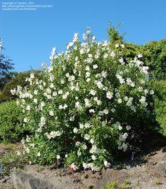 Carpenteria Californica - Google Search