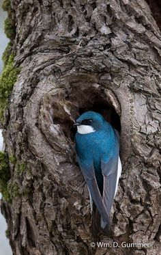 Tree Swallow ~  Saw one of these in Scarborough, Maine yesterday!