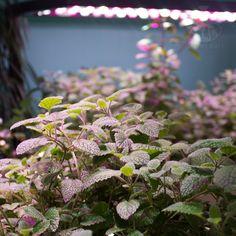 Pěstujte si doma sami vše, co máte rádi! Inteligentní interiérová hydroponická zahrada Vám pomůže k bohaté úrodě čerstvých bylinek, ovoce i zeleniny!