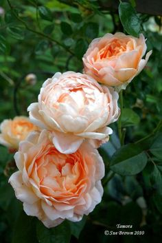 Rose 'Tamora'  I used to have a Tamora but she died.  I think I got her bare root and she never really thrived.