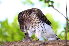 """""""Breakfast is Served"""" photograph of juvenile Cooper's hawk eating another small bird, by award winning wildlife photographer Paul J. Marto on 500px"""