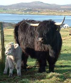 Mòrag and her calf from the Romesdal Highlanders ༺✿༺ Isle of Skye.