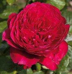 Alain Souchon rosier buisson