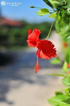 一年中、八重山の島々を彩っている ハイビスカスの花言葉は、常に新しい美、勇ましさ、勇敢、新しい恋、繊細な美、上品な美しさ、華やか。 撮影者:竹澤雅文