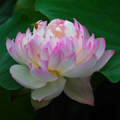 Nelumbo nucifera - Lotus and Bee, by Giovanni88Ant, via Flickr