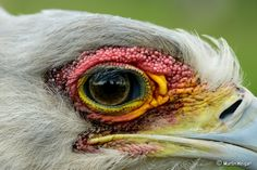 Secretary birds are a large raptor that can specializes in feeding on snakes. These elegant birds are endemic to Africa, usually found in the open grasslands and savannah of sub-Saharan Africa. Animal Antics, Close Up Portraits, Nature Plants, Color Studies, Stunning Eyes, National Geographic Photos, Nature Animals, Wild Birds, Bird Art