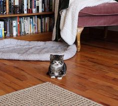 Elfie, the rescue dwarf cat, lives in Copenhagen with his sister Gimli, and they're both adorable.