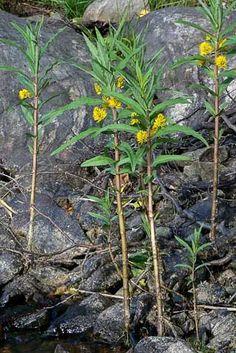 Terttualpi, Lysimachia thyrsiflora - Kukkakasvit - LuontoPortti