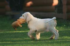 Spinone puppy