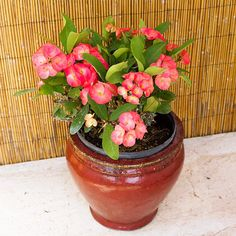 Euphorbia  -  Crown-of-Thorns - Beautiful Plant but is poisonous, so not a good choice near children or pets.