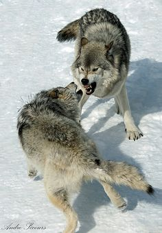 The reason wolves fight each other is because...