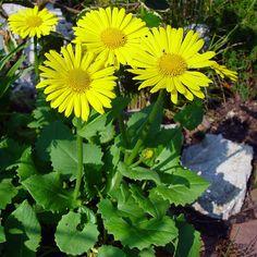 Doronicum orientale -