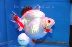 white ryukin goldfish #freshwater #aquariums #tropical #fish
