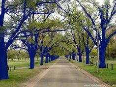 carolina leon firrell: Aux arbres citoyens !