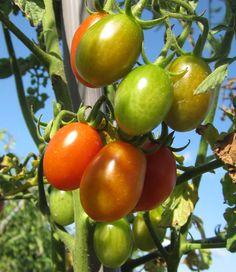 #summer is coming #senzantorto #orto #vegetable #pomodori #tomatoes #foligno