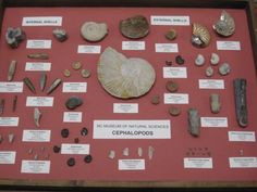 Twitter / somecephalopod: For #FossilFriday some ...