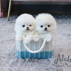 White Pomeranian, Teacup Pomeranian, Teacup Puppies, Wink Wink, Puppies For Sale, Tea Cups, Legs, Mini, Health