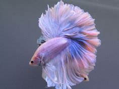 Lilac Fish In A Tutu And A Bow Around It's Neck ... I Would Not Kid You