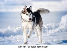 Two Husky Dogs Running In The Snow Poster Husky Dogs Alaskan Husky