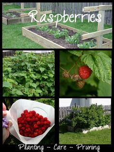 In town I don't have a lot of space to grow raspberries. Raised garden boxes was my choice for starting and maintaining a raspberry patch. - All About Gardens Container Gardening, Raspberry Plants, Plants, Vegetable Garden Raised Beds, Gardening Tips, Garden Design, Raised Vegetable Gardens, Flower Garden, Low Maintenance Garden Design