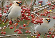 A pair of Bohemian Waxwings in a crabapple tree - they breed in coniferous forests throughout the most northern parts of Europe, Asia and western North America. (The Cedar Waxwing inhabits only North America.)