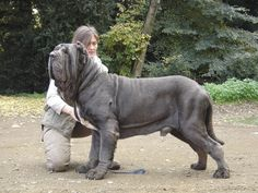 Mary's Be a GoodDog Blog: Sweetest Italian Mastiffs Making a Comeback: and Zorba, Largest Dog Ever (More Mastiff pictures and video