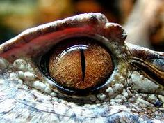 'Alien Nation - Advanced photoshop contest is now closed. Reptiles And Amphibians, Les Reptiles, Reptile Eye, Regard Animal, Animal Anatomy, Dragon Eye, Wild Creatures, Human Eye, Reference Images