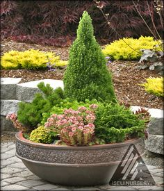 CONIFERS IN CONTAINERS: Dwarf and miniature conifers on the patio in a ceramic container. - iselinursery.com