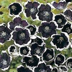 50+ PENNY BLACK NEMOPHILA FLOWER SEEDS/ SHADE LOVING in Home & Garden, Yard, Garden & Outdoor Living, Plants, Seeds & Bulbs   eBay