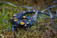Salamander.  #wildlifephotography