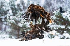 white tailed eagle battle