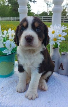 Wildwood in Georgia Springer Spaniel Puppies, English Springer Spaniel, Photo Caption, Spaniels, Puppy Pictures, Best Dogs, Georgia, Animals, Dog Photos