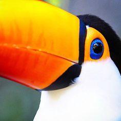 Ensi viikolla lähden etsimään näitä lintukaunottaria Amazonilta, vaikka näkee niitä toisinaan täällä kotinurkillakin, vaikkapa Riode Janeiron kasvitieteellisessä puutarhassa. #lintu #tucan #bird #jungle #riodejaneiro #amazon #travel #traveling #visiting #instatravel #instago #trip #photooftheday #travelling #instapassport #instatraveling #mytravelgram #travelgram #travelingram #nature #matkablogi #brasilia #viidakko #brazil #luonto #lintubongari #colors #birdwatching #birdie