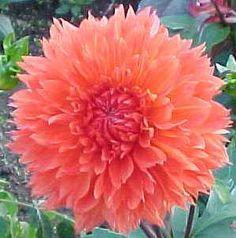 "Orange Cushion - 5' w/4"" blooms"