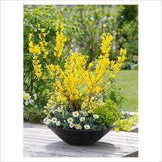Spring container of Forsythia 'Minigold', Leucanthemum 'Flirt', Erysimum 'Winter Sun' and Euphorbia 'Antigone'